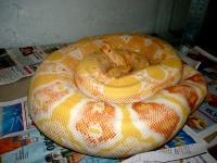 0,1 HI red pastel albino