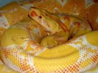 0,1 red pastel albino