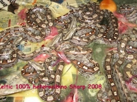 1-9 Keltici Heteroalbino Sharp 2008