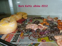 2-3 Narození Sharp albino Keltic 20.6.2012