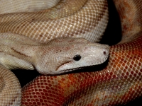 0,1 T+  albino nikaragua CA motley