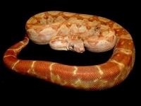 1,0 T+ albino nikaragua